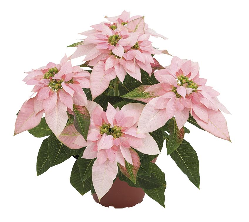 11110_luv-u-soft-pink_1282