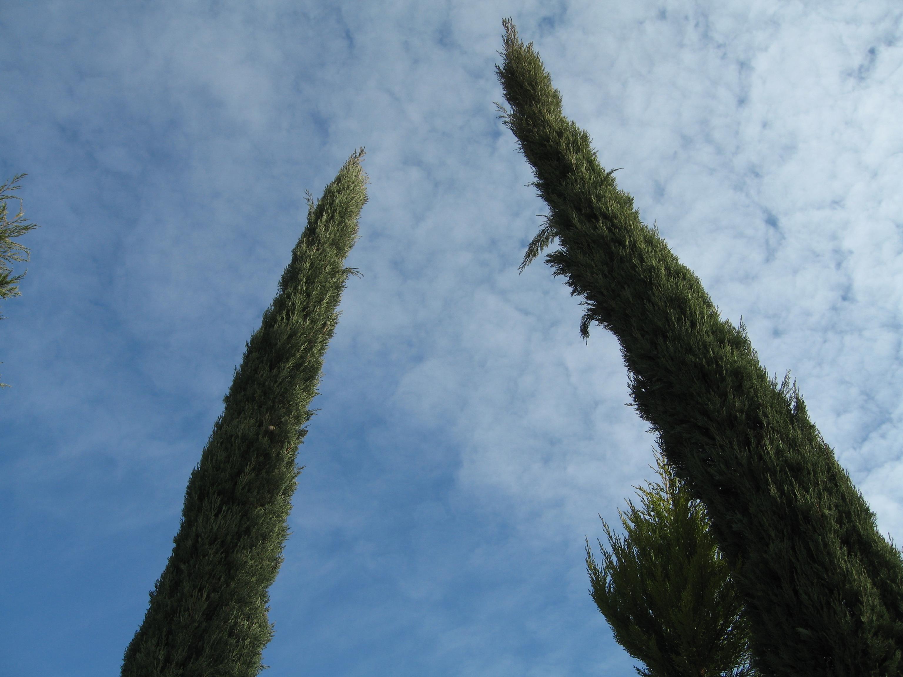 Cupressus semprevirens