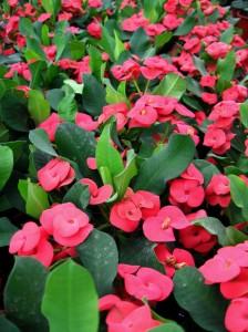 Euphorbia-bordas.