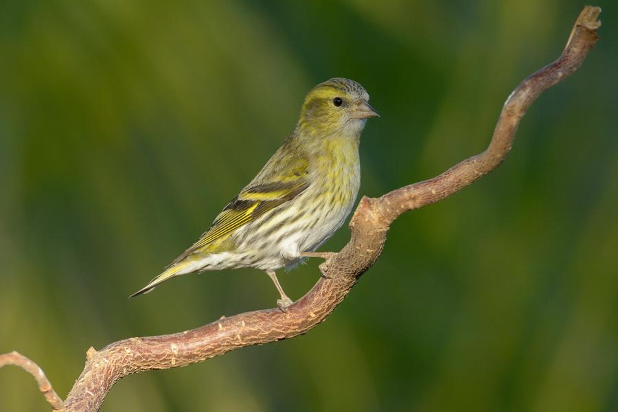 bordas-bird