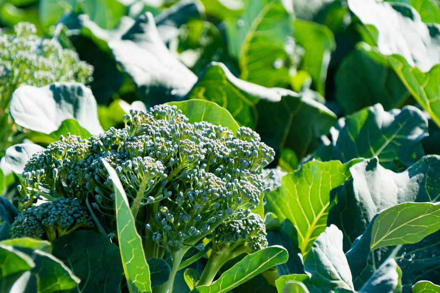 brocoli-bordas