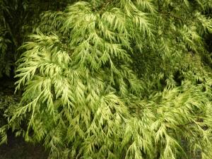 chamaecyparis-lawsoniana-golden-wonder