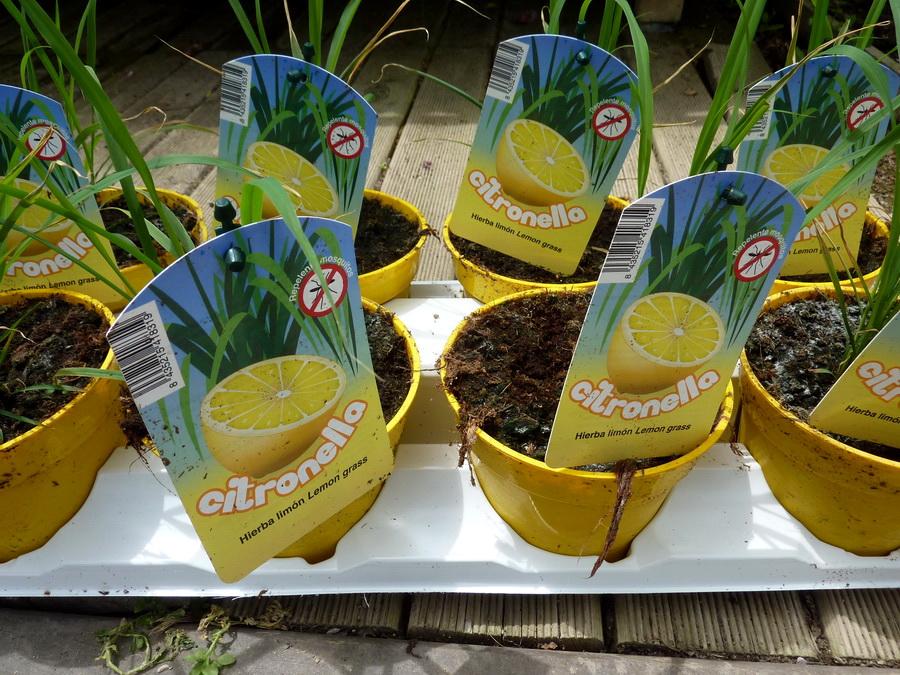 citronella-bordas
