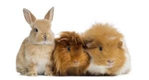 conejos-cobayas-bordas