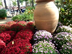 crisantemos-garden-bordasjpg