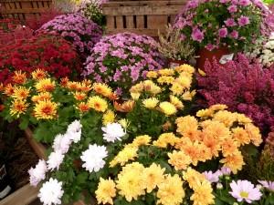 crisantemos-grandes-garden-bordas