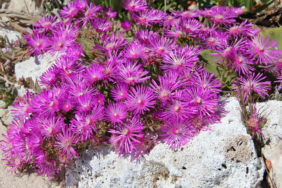 dorotheanthus lila