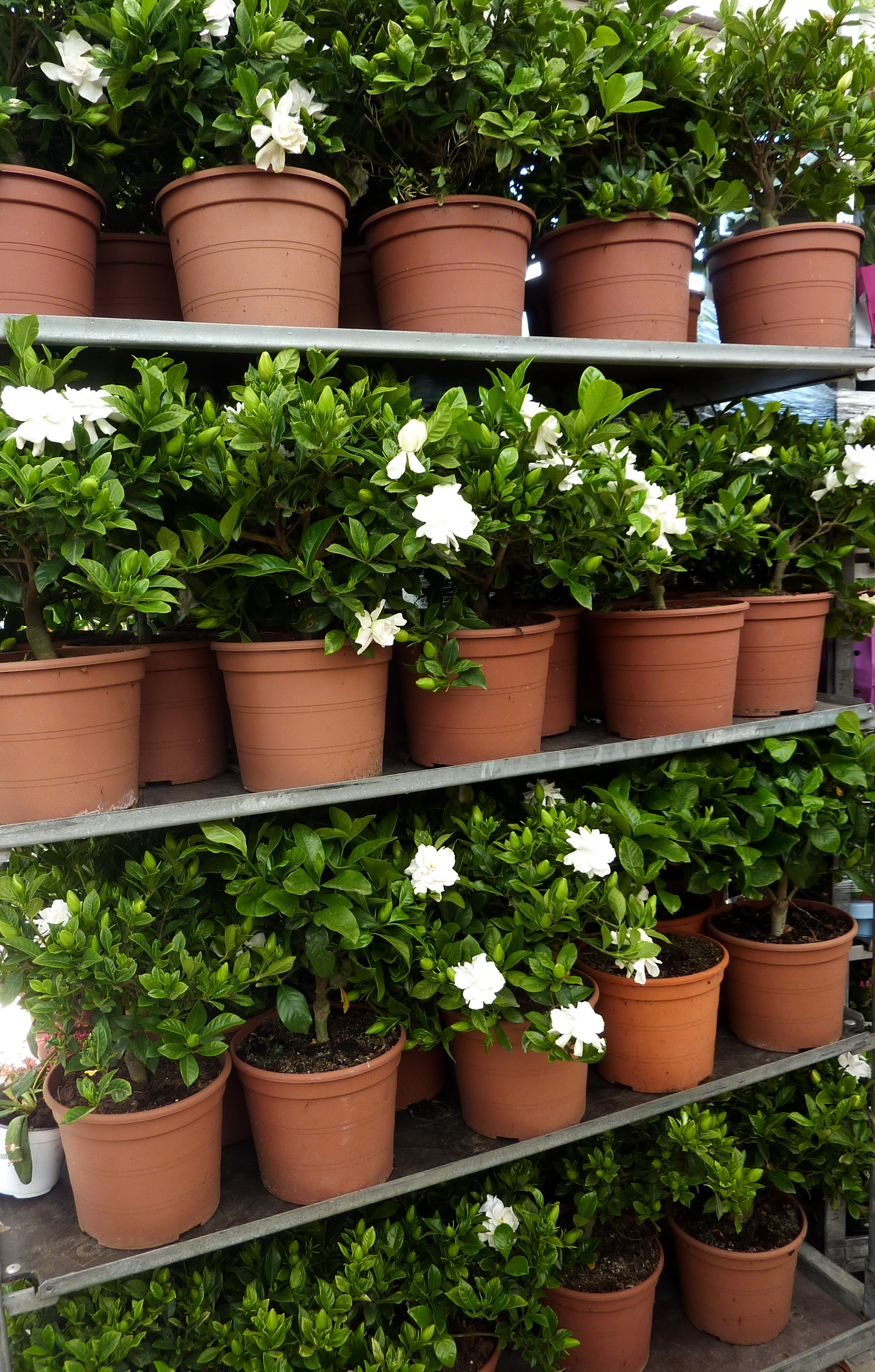 gardenia-bordas