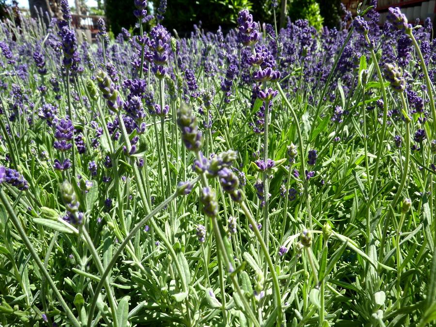 lavanda-angustifolia-bordas