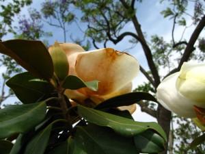 magnolia-bordasjpg