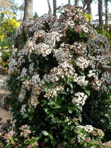 marfull-bordas-viburnum-tinus