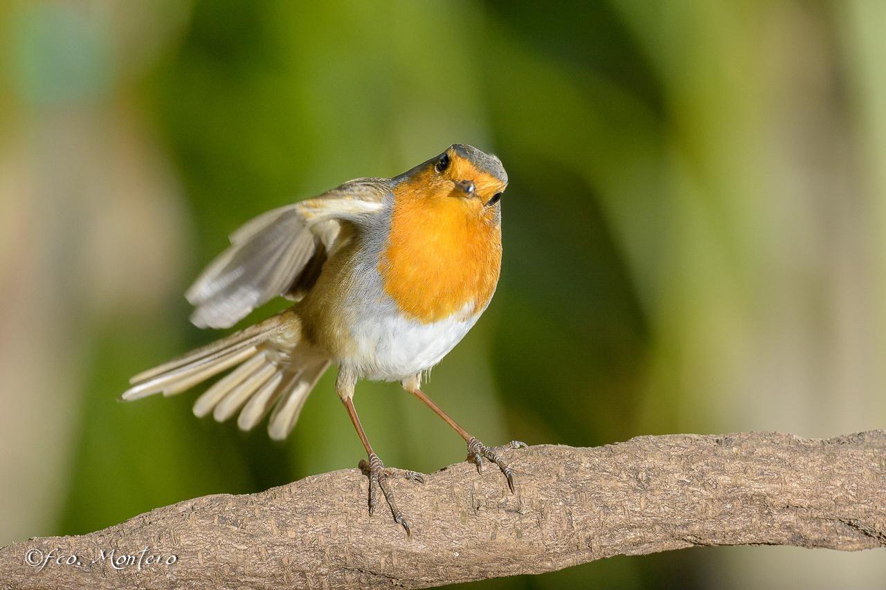 pit-roig-bordasbird