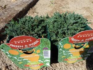 plantas-tapizantes 3-