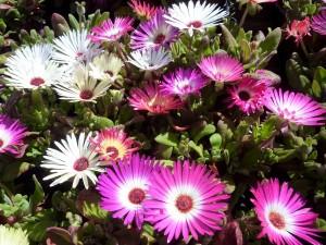 plantes-tapizantes-bordas