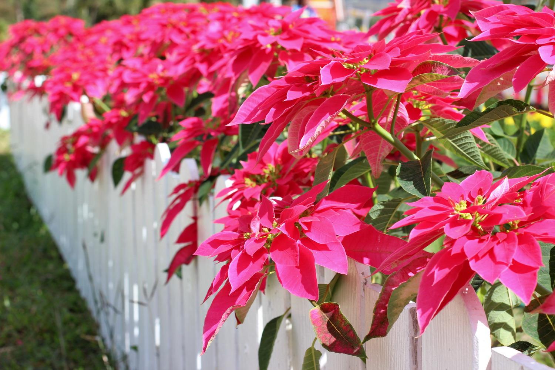 Con las temperatura primaverales, ya podéis sacar la planta de la Navidad al exterior