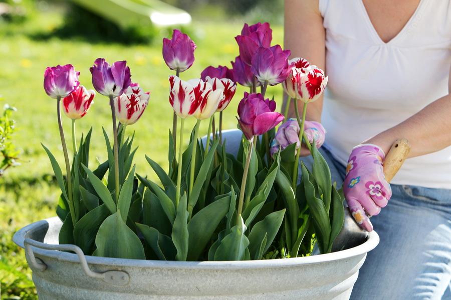 tulipanes-bordas